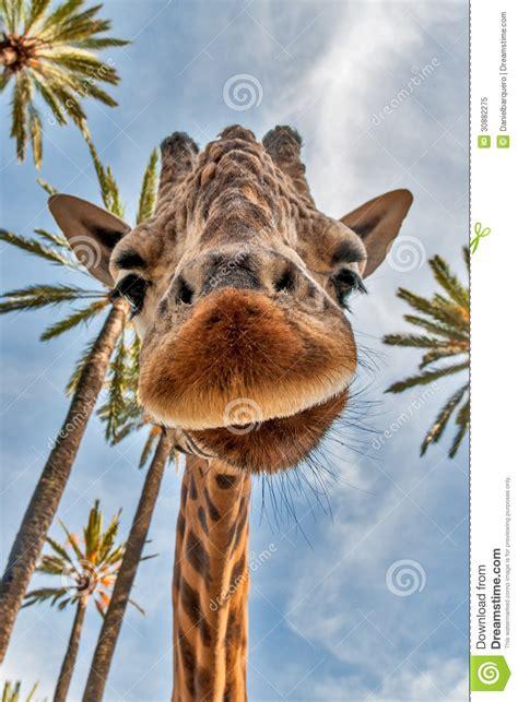 giraffes head royalty  stock photo image
