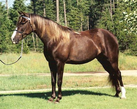 horse kentucky mountain saddle appalachian farm msu revival held horses breeds wmky origin history