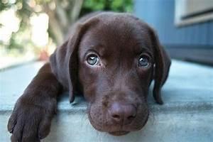had a dream i found a brown lab puppy with blue eyes ...