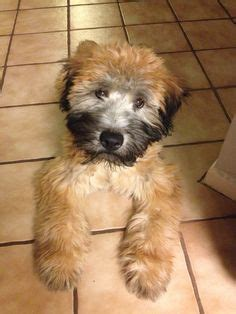 Do Wheaten Terrier Puppies Shed by Soft Coated Wheaten Terrier Non Shedding Great Family
