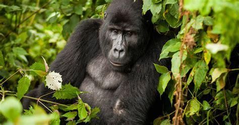 gorilla trek deep   ugandan jungle annual adventure
