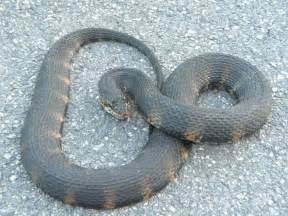 Florida Water Snakes Identification