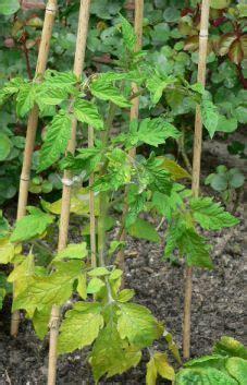 tomaten solanum lycopersicum anbau