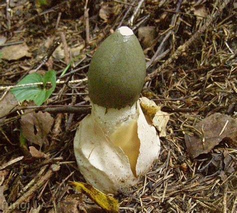 Phallus impudicus - parastie zemestauki 2