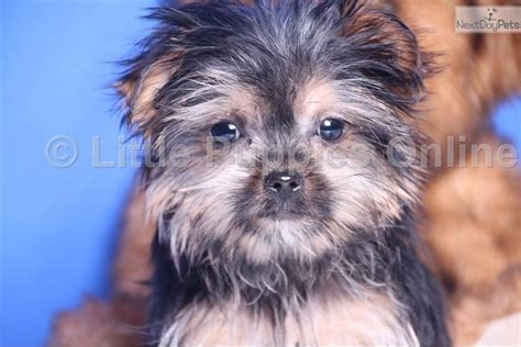 Do Shorkie Puppies Shed by Meet Buck A Shorkie Puppy For Sale For 499 Buck