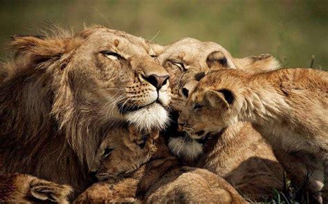 lions love  family  lion desktop wallpaper hd