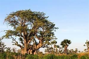 Arbre A Fruit : pulpe de fruit du baobab baobab ~ Melissatoandfro.com Idées de Décoration