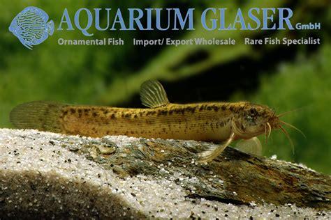 misgurnus anguillicaudatus loaches fish aquariumglaser weather archives
