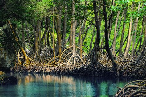 Mangroves Man's Best Friend?  Follow Green Living