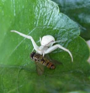 Weiße Spinne Deutschland : bild 2 aus beitrag wei e spinne auf hibiskusblatt ~ Orissabook.com Haus und Dekorationen
