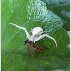 Bild 2 Aus Beitrag Weiße Spinne Auf Hibiskusblatt