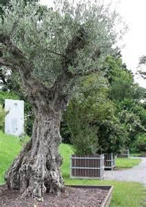 olivenbaum balkon olivenbäume im garten und freiland überwintern 04 olivenbaum kübelpflanze
