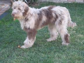 Aussiedoodle Adult Dogs