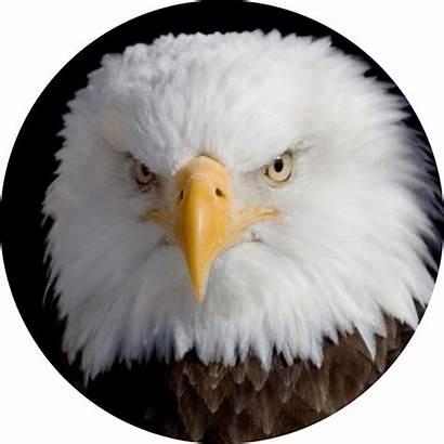 Bald Eagle Woody Ambassador Educational