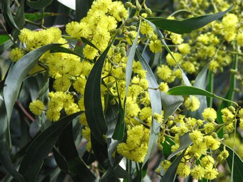 acacia pictures file acacia pycnantha golden wattle jpg wikipedia