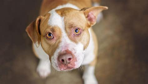 barking pit bull saves owners  gas leak newshub