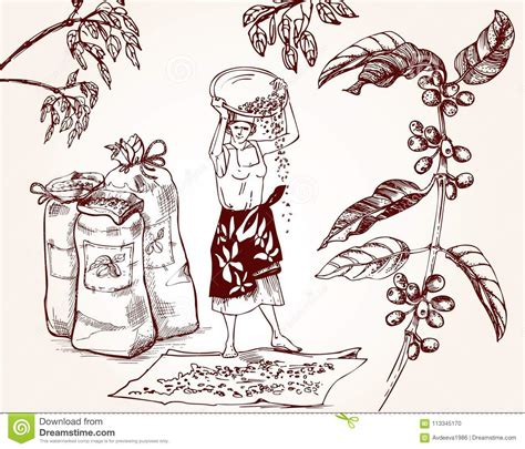 Looking for coffee images and vectors? Coffee Harvesting. Vintage Illustration Of Coffee Making Process. Stock Vector - Illustration of ...