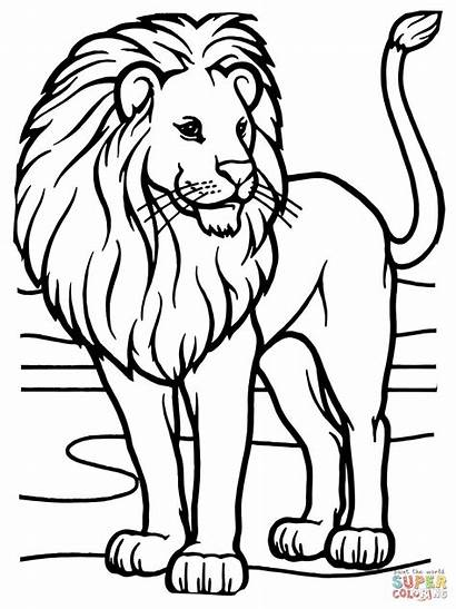 Lion Colorare African Disegni Male Coloring Animal