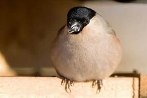 Vogel Mit Roter Brust : vogel mit roter brust panoramio photo of vogel mit roter brust welcher vogel ist das vogel ~ Eleganceandgraceweddings.com Haus und Dekorationen