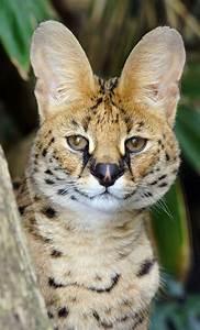 The 25+ best Serval cats ideas on Pinterest | Savannah ...