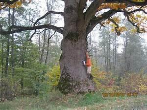 Linde Baum Steckbrief : eichen landhausdielen g nstig ~ Orissabook.com Haus und Dekorationen
