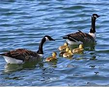 Geese Wallpapers | Fun Animals Wiki, Videos, Pictures, Stories
