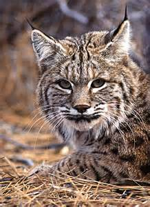 Kentucky Wildcat Animal