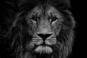Lion Photograph Print Lion Head Black and White Office