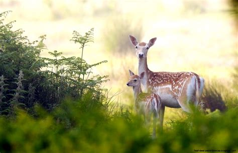 Nature And Animals Hd Wallpapers - deer animals nature hd wallpaper free high definition
