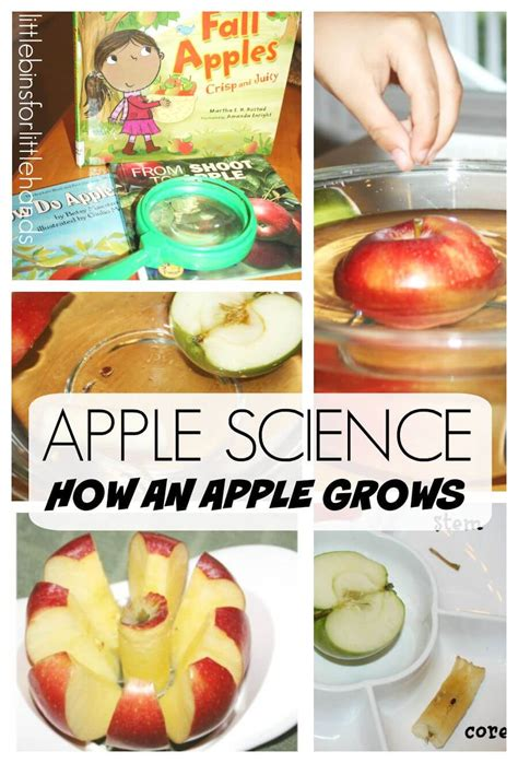 apple science activity preschool apple theme for fall 315 | Apple Science Preschool Apple Activity How An Apple Grows Fall Science