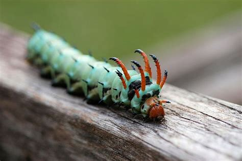 remarkable caterpillars     mnn
