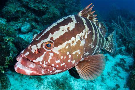 grouper marine nassau mating dating ocean fighting spawning moon