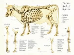 Skeletal Anatomy Of The Cow Poster