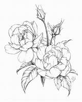 Flower Drawings Botanical Peony Drawing Spring Flowers Illustration Coloring Shading Line Ink Rose Pages Floral Modern Garden Katrina Roses Featuring sketch template