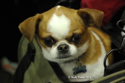 Pekingese Chihuahua Mix Shedding by Pekingese Chihuahua Mix Personality