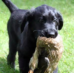 flat coated retriever dog breed information puppies