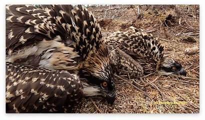 Kielder Chicks Osprey Ringed Named Ringing Success