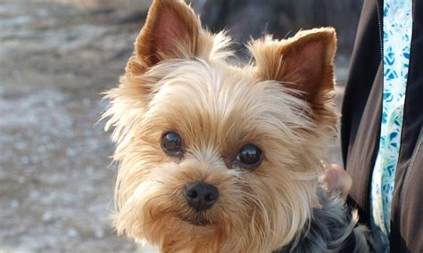 Meet Jake The Yorkshire Terrier On Pack