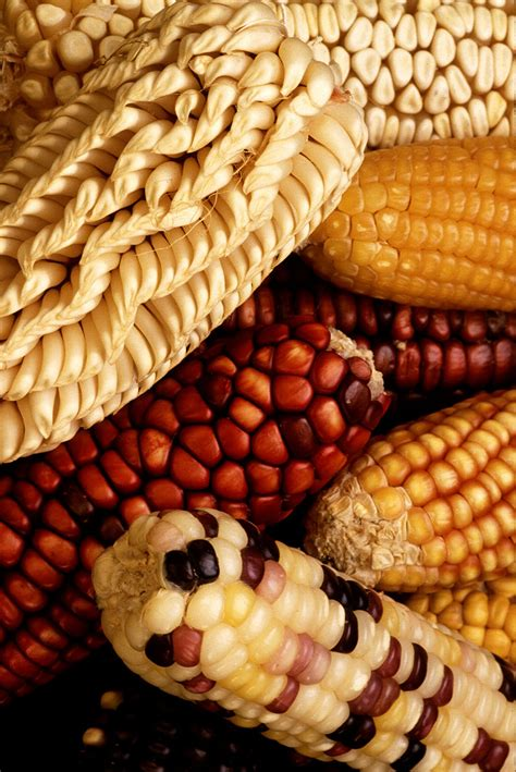 Maize study finds genes that help crops adapt to change