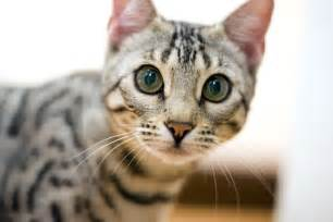 bengal cat personality cat tips the bengal cat personality