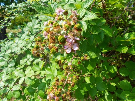 arbusti dai fiori rosei arbusti e piante rovo robus ulmifolius