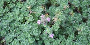 6 Edible ground cover plants for backyards and gardens ...