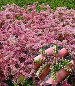 Blumen Für Steingarten : seestern blume bodendecker stauden bei baldur garten ~ Markanthonyermac.com Haus und Dekorationen