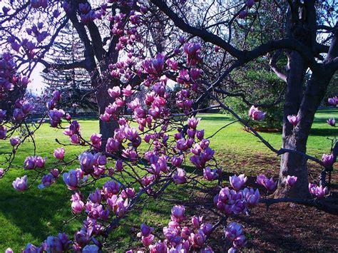 purple magnolia trees magnolia tree gettysburg pa by eric schiabor
