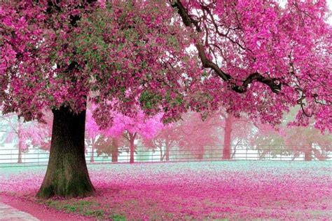 gambar bunga sakura  jepang  hd wallpapers android