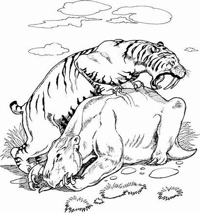 Coloring Pages Tigers Tiger Wildlife Saber Tooth