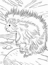 Porcupine Coloring North American Cute Pages Printable Porcupines Drawings Supercoloring Animals Animal Cartoon Draw Christmas Getcoloringpages Forest sketch template