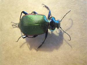 Real Iridescent Green Beetle