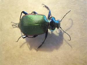 Real Iridescent Green Beetle