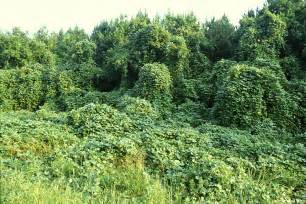 Kudzu Invasive Plant Species